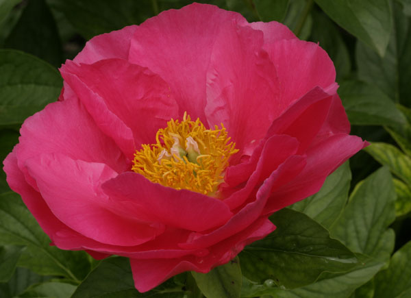 Pink peony with yellow center